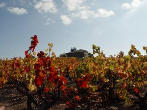 Beaujulais grapevine