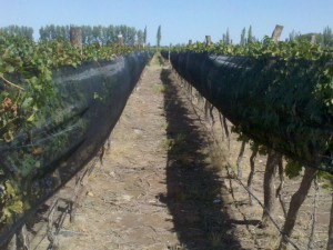 Hail nets in Argentina
